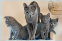 Russisch blau Kitten mit Mutter