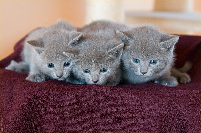 Russian blue Cats