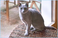 Russian blue Cat Nils